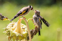 Goldfinch подает его вторичный рост на солнцецвете Стоковое Изображение