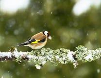Goldfinch (coelebs Fringila) Стоковые Фото