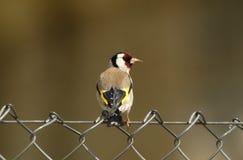 goldfinch птицы Стоковая Фотография