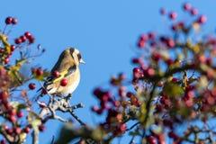 Goldfinch садить на насест на Hawhorn стоковое изображение