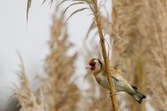 Goldfinch & x28; Щегол Carduelis& x29; Стоковые Фото