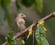 Goldfinch, ювенильный Стоковая Фотография