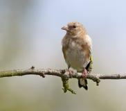 Goldfinch, ювенильный Стоковые Фотографии RF