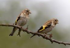 Goldfinch (ювенильный) Стоковая Фотография RF