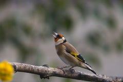 goldfinch Στοκ Φωτογραφίες