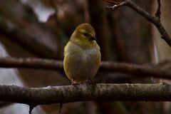 goldfinch Images stock
