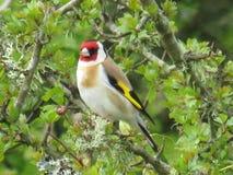 goldfinch imagen de archivo