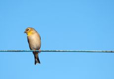 Goldfinch. Lizenzfreies Stockfoto