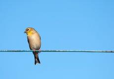 Goldfinch. lizenzfreies stockfoto