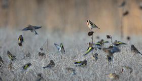 Goldfinch. Stock Photo