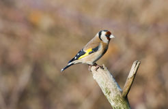 Goldfinch. Perched on a tree branch Stock Photography