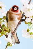 Goldfinch fotografie stock