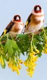 goldfinch Стоковые Изображения