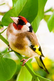 Goldfinch. Sitting on a branch of blossom tree in spring Royalty Free Stock Photography