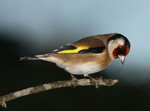 Goldfinch. Portrait of a male Goldfinch Royalty Free Stock Photo