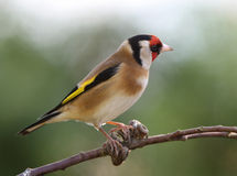 Goldfinch. Portrait of a handsome male Goldfinch Stock Photography