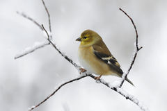 Goldfinch 1a. Goldfinch on branch in snow storm Royalty Free Stock Photography