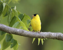 Goldfinch. A male goldfinch rests in a Missouri walnut tree Stock Images