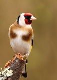 Goldfinch lizenzfreies stockfoto