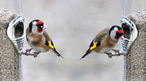 Goldfinch Royalty Free Stock Photography