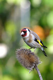 Goldfinch Stockbilder