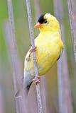 американский goldfinch Стоковые Фото