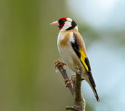 Goldfinch Stockfotografie