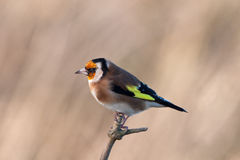 Goldfinch. Orange faced european goldfinch standing on a stick royalty free stock photography
