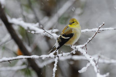 Goldfinch 2a Stock Image