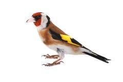 Goldfinch стоковые фото