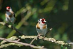 Goldfinch Стоковые Изображения RF
