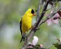 goldfinch Imágenes de archivo libres de regalías