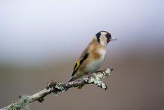goldfinch Imagem de Stock Royalty Free