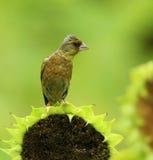 goldfinch Imagen de archivo libre de regalías