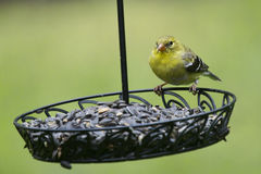 goldfinch fotos de stock royalty free