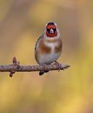 goldfinch Photos libres de droits