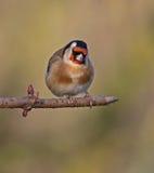 goldfinch Image libre de droits