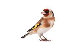 goldfinch стоковое изображение