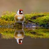 Goldfinch Stockfotos