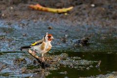 goldfinch Foto de Stock Royalty Free