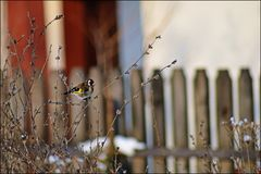 goldfinch Imagens de Stock Royalty Free