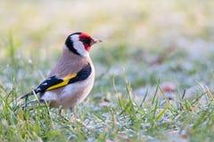 goldfinch Στοκ φωτογραφίες με δικαίωμα ελεύθερης χρήσης