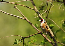 goldfinch Stock Foto