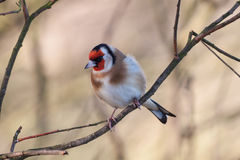 goldfinch Photographie stock