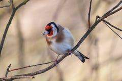 goldfinch Fotografía de archivo