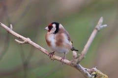 goldfinch Images libres de droits