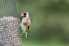 goldfinch Στοκ Φωτογραφία
