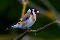 goldfinch Fotos de Stock