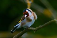goldfinch Fotografia de Stock Royalty Free