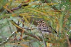 goldfinch Стоковое Фото